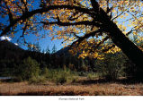 Maple tree near the Hoh River, probably during autumn, Olympic National Park, date unknown