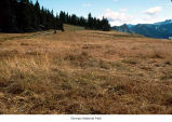 Meadow on Hurricane Ridge, probably during autumn, Olympic National Park, date unknown