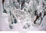 Marymere Falls trail after a snow, Olympic National Park, date unknown