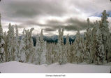 Hurricane Ridge rimed trees, probably during winter, Olympic National Park, date unknown
