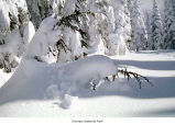 Hurricane Ridge mountain hemlock after a snow, Olympic National Park, date unknown