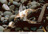 Bird dead and oil-soaked, probably on an Olympic National Park beach, 1988