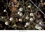 Field chickweed flowers, probably in Olympic National Park, date unknown