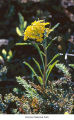 Western wallflower flower, probably in Olympic National Park, date unknown