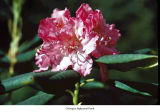 Pacific rhododendron flower, probably in Olympic National Park, date unknown