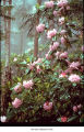 Pacific rhododendron plant, probably in Olympic National Park, date unknown