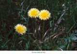 Common dandelion plant, probably in Olympic National Park, date unknown