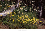 Broad leaf arnica plants, probably in Olympic National Park, date unknown