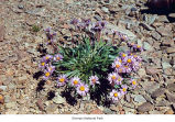 Alpine aster plant, probably in Olympic National Park, date unknown