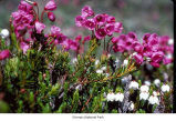 Red mountain heather plants, probably in Olympic National Park, date unknown