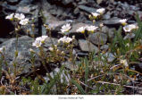 Field chickweed plants, probably in Olympic National Park, date unknown