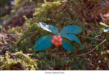 Bunchberry dogwood plant, probably in Olympic National Park, date unknown