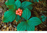 Bunchberry dogwood plants, probably in Olympic National Park, date unknown