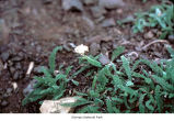 Common yarrow plants, probably in Olympic National Park, date unknown