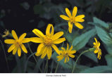 Sticky arnica flowers, probably in Olympic National Park, date unknown