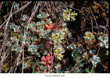 Broadleaf stonecrop plants, probably in Olympic National Park, date unknown