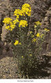 Western wallflower plant, probably in Olympic National Park, date unknown