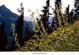 Green false hellebore plants, probably in Olympic National Park, date unknown