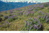 Broadleaf lupine plants in the Olympic Mountains, probably in Olympic National Park, date unknown