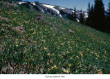 Glacier lily plants, probably in Olympic National Park, date unknown