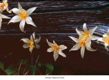 Avalanche lily flowers, probably in Olympic National Park, date unknown