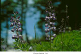 Broadleaf lupine flowers, probably in Olympic National Park, date unknown