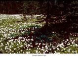 Avalanche lily plants, probably in Olympic National Park, date unknown
