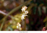 False asphodel flowers, probably in Olympic National Park, date unknown