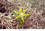 Glacier lily plant, probably in Olympic National Park, date unknown