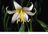 Avalanche lily flower, probably in Olympic National Park, date unknown