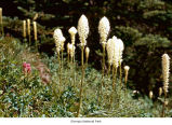 Beargrass plants, probably in Olympic National Park, date unknown