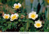 American globeflower flowers, probably in Olympic National Park, date unknown