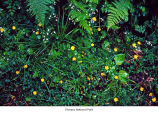 Creeping buttercup plants, probably in Olympic National Park, date unknown