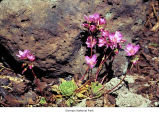 Columbian Lewisia plant, probably in Olympic National Park, date unknown