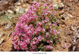 Smooth Douglasia plant, probably in Olympic National Park, date unknown