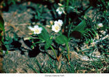 Broadleaf springbeauty plants, probably in Olympic National Park, date unknown