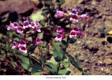 Broad-leaved penstemon plants, probably in Olympic National Park, date unknown