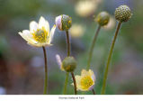 Pacific anemone flowers, probably in Olympic National Park, date unknown