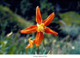 Sitka columbine flower, probably in Olympic National Park, date unknown