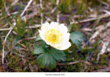 American globeflower flower, probably in Olympic National Park, date unknown