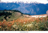 Old man's whiskers plants in the Olympic Mountains, probably in Olympic National Park, date unknown