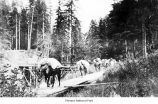 Horses with cargo walking over a small bridge, possibly on the Olympic Peninsula, date unknown