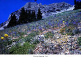 Subalpine meadow on Mount Angeles, Olympic National Park, date unknown