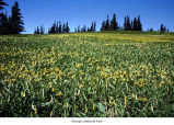 Meadow with glacier lilies in bloom, Olympic National Park, date unknown