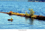 Lake Crescent near Barnes Point where a natural floating garden has formed, Olympic National Park,...