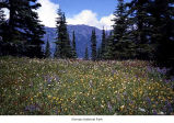 Subalpine meadow, Olympic National Park, date unknown