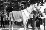 Horse ridden by the standard bearer at Alkar Festival, Sinj, Croatia (former Yugoslavia), August...