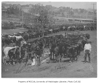 U.S. government military corral in Seattle, showing packers and horses at feeding time,  August...