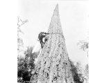 High rigger descending after topping a spar tree, ca. 1930