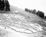 Sheep on the U. S. forest reserve near Cady Pass, ca. 1930